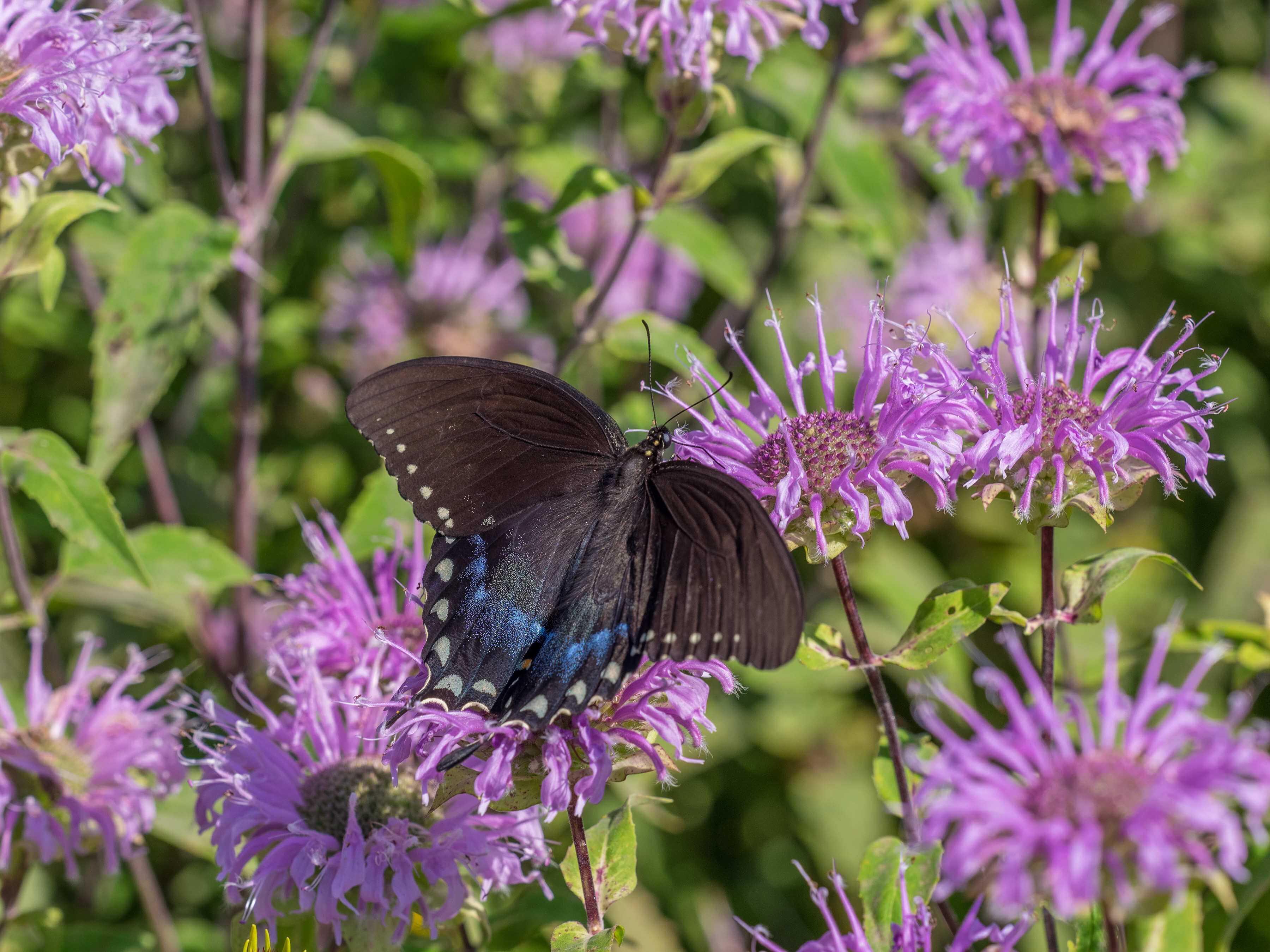monarda swallowtail